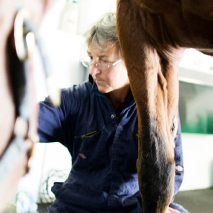 A specialist checking a horse for lameness